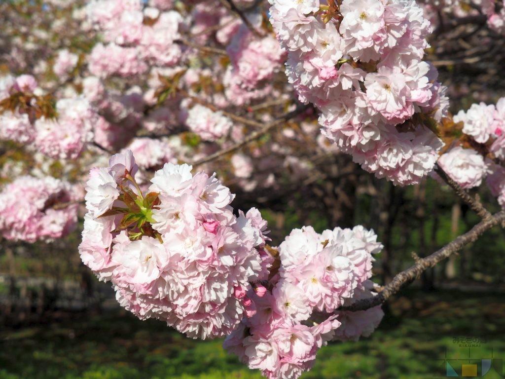 GWが終わっても、松前町の桜は見頃がまだまだ続きます!