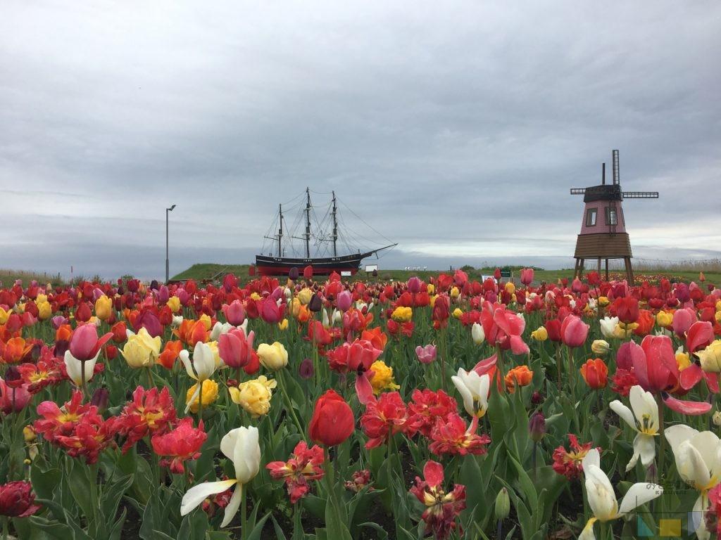 サラキ岬チューリップフェアは5月13~14日がラストですがお花はまだ元気! 芝桜もまだまだ楽しめます!